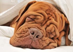 wrinkle-dog